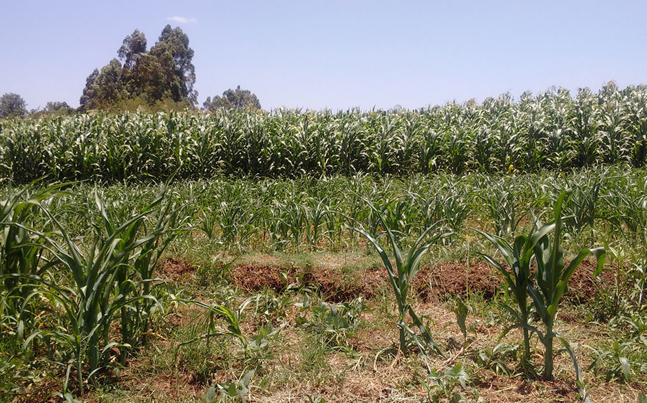 Confronting the Uncertainty of Toxic Exposure. Knowledge‐making on Aflatoxins in Kenyan Maize